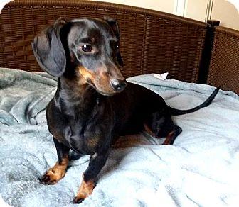 Dachshund Dog for adoption in Lawrenceville, Georgia - Owen