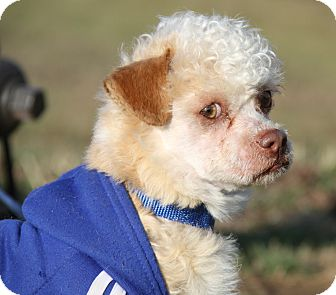 Poodle (Miniature) Mix Dog for adoption in Marietta, Ohio - Zeke (Neutered)