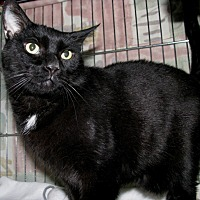 Domestic Shorthair Cat for adoption in New Kensington, Pennsylvania - Kringle