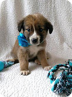 Australian Shepherd/Labrador Retriever Mix Puppy for adoption in Elkton, Maryland - Todd