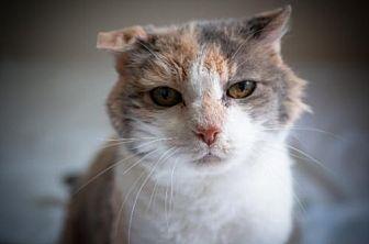 Domestic Shorthair Cat for adoption in Santa Rosa, California - Kiwi