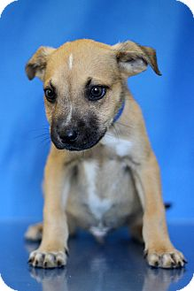Terrier (Unknown Type, Medium) Mix Puppy for adoption in Waldorf, Maryland - Cobalt