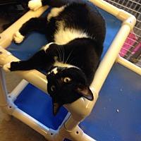 Domestic Shorthair Cat for adoption in Sewaren, New Jersey - Lotus