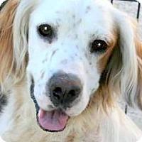 Adopt A Pet :: RALPHIE(WOW! PB ENG SETTER!!) - Wakefield, RI