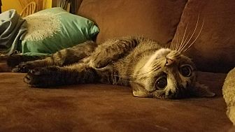 Domestic Shorthair Cat for adoption in Garden City, Michigan - Annabelle - ADOPTION PENDING
