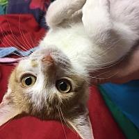 Domestic Shorthair Kitten for adoption in Butner, North Carolina - Maisy