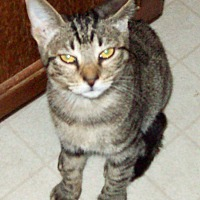 Adopt A Pet :: Pixie - Waller, TX