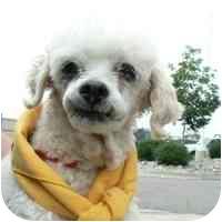 Poodle (Miniature) Mix Dog for adoption in Denver, Colorado - Shelby