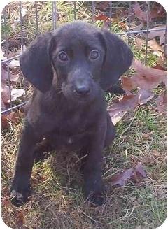 Labrador Retriever Mix Puppy for adoption in Hammonton, New Jersey - Whistler