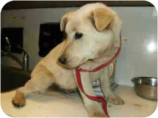 Labrador Retriever/Shepherd (Unknown Type) Mix Puppy for adoption in Sacramento, California - Riley