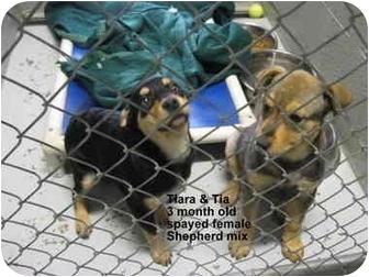 German Shepherd Dog/Rottweiler Mix Puppy for adoption in Grants Pass, Oregon - Tiara & Tia