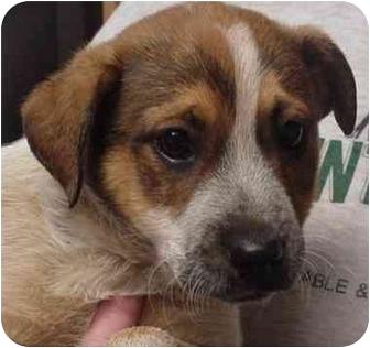 Australian Cattle Dog Mix Puppy for adoption in Manassas, Virginia - Gibson