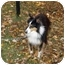 Photo 1 - Sheltie, Shetland Sheepdog/Sheltie, Shetland Sheepdog Mix Dog for adoption in Sheboygan, Wisconsin - Patches