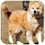 Photo 4 - Golden Retriever/Collie Mix Dog for adoption in Pawling, New York - TULIP