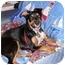Photo 3 - Australian Shepherd/Labrador Retriever Mix Puppy for adoption in Orlando, Florida - Chesley