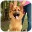 Photo 1 - German Shepherd Dog Dog for adoption in Houston, Texas - Guinness