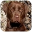 Photo 1 - Labrador Retriever Dog for adoption in El Segundo, California - Cocoa