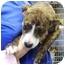 Photo 2 - Pit Bull Terrier Mix Puppy for adoption in Kansas City, Missouri - Courtesy List-Lola