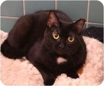 Domestic Shorthair Cat for adoption in Cincinnati, Ohio - Arlington