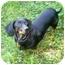 Photo 2 - Dachshund Dog for adoption in San Jose, California - Rocco
