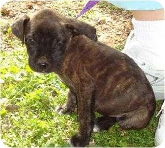 Boxer/Labrador Retriever Mix Puppy for adoption in Staunton, Virginia - Jacobi