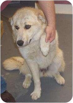 German Shepherd Dog/Husky Mix Dog for adoption in Mt. Vernon, Illinois - Popsicle