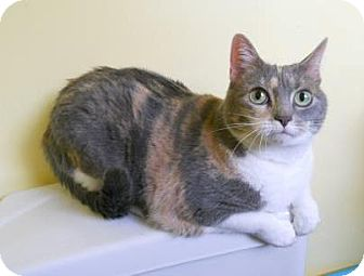 Calico Cat for adoption in East Hanover, New Jersey - Diana - Declawed, coming 3/3