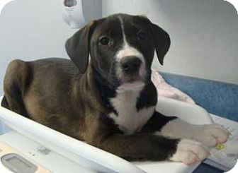Labrador Retriever Mix Dog for adoption in Gainesville, Florida - Autumn