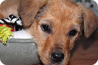 Labrador Retriever/Airedale Terrier Mix Puppy for adoption in Mt. Prospect, Illinois - Crystal