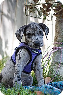 Great Dane Puppy for adoption in Auburn, California - Abby Normal