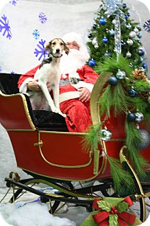 Treeing Walker Coonhound/Foxhound Mix Puppy for adoption in River Falls, Wisconsin - Hayley