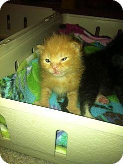 Domestic Mediumhair Kitten for adoption in Union, Kentucky - Ogden