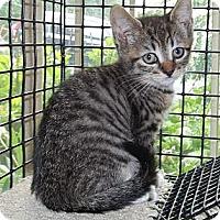 Adopt A Pet :: Pebbles - Acme, PA