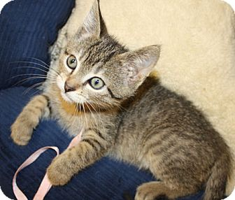 Domestic Mediumhair Kitten for adoption in Washburn, Wisconsin - Zirconium
