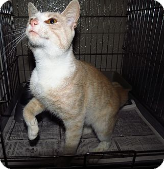 Domestic Shorthair Cat for adoption in Henderson, North Carolina - George