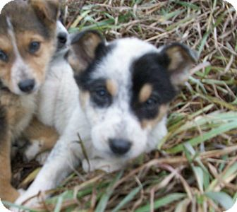 Australian Shepherd/Australian Cattle Dog Mix Puppy for adoption in Liberty Center, Ohio - Halle