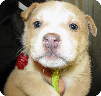 Border Collie/Pit Bull Terrier Mix Puppy for adoption in Alamosa, Colorado - Moose