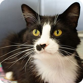 Domestic Mediumhair Cat for adoption in Naperville, Illinois - Handsome