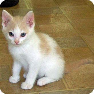 Domestic Shorthair Kitten for adoption in McCormick, South Carolina - Joshua