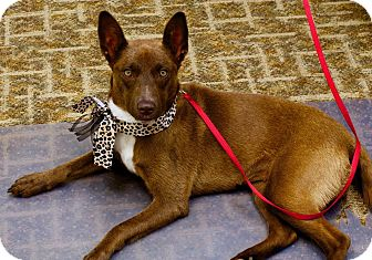 Australian Cattle Dog Mix Dog for adoption in Syracuse, New York - Cocoa
