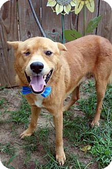 German Shepherd Dog/Labrador Retriever Mix Dog for adoption in Darlington, South Carolina - Patrick