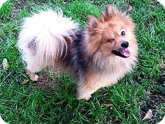 Pomeranian Dog for adoption in Buffalo, New York - Mr. Dandelion