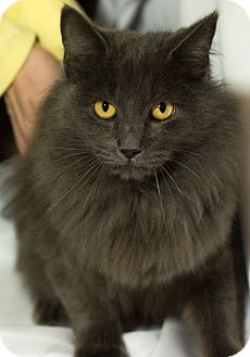 Domestic Longhair Cat for adoption in Daleville, Alabama - Toni