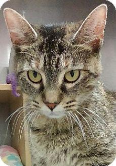 Domestic Shorthair Cat for adoption in Hillside, Illinois - Dakota-SWEET MAMA - TORBIE