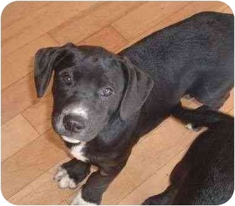 Labrador Retriever/Boxer Mix Puppy for adoption in St.Lazare, Quebec - Buster Brown