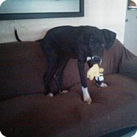 Great Dane Dog for adoption in Fort Lauderdale, Florida - Bristol