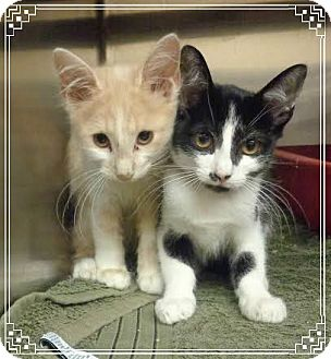 Domestic Shorthair Kitten for adoption in Marietta, Georgia - DAPHNE AND DEVIN