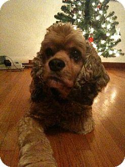 Cocker Spaniel Dog for adoption in DeLand, Florida - Walker