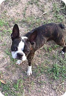 Boston Terrier Dog for adoption in Van Vleck, Texas - Colby