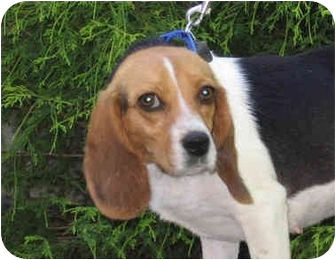 Beagle Dog for adoption in Blairstown, New Jersey - Molly